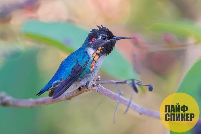 Самая маленькая птица в мире - Колибри