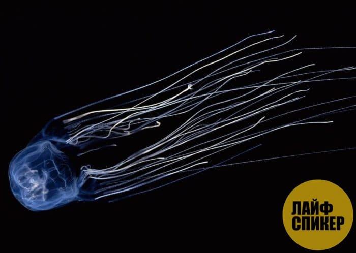 Медуза ируканджи