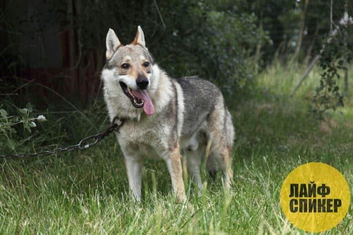 Самые агресивные породы собак в мире