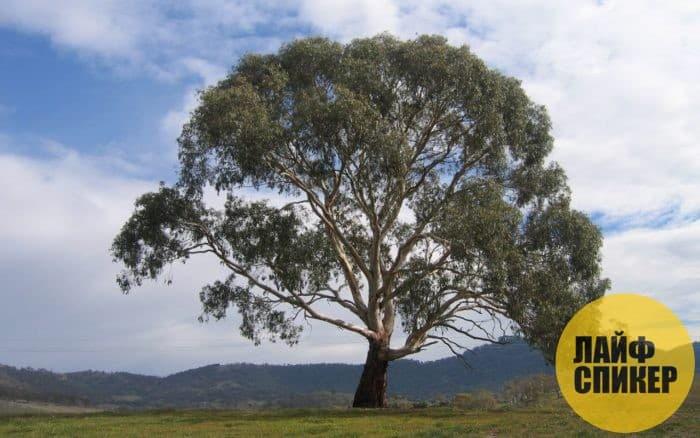 Самые большие деревья в мире