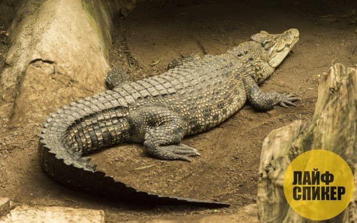 Krokodil yo pi gwo nan mond lan