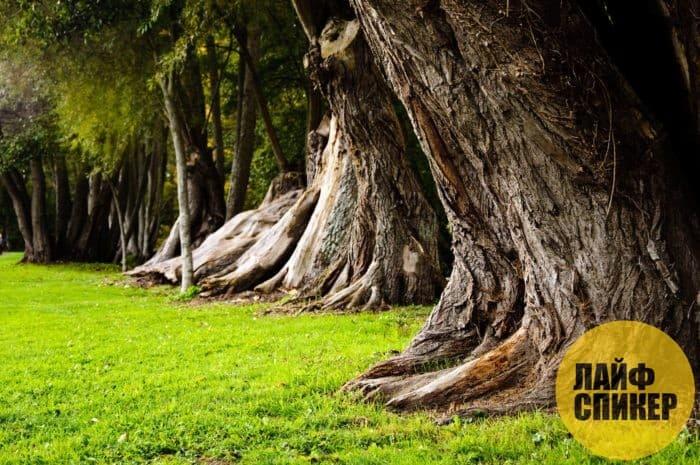 Места под мощными деревьями