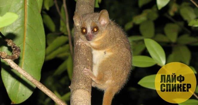 Самый мелкий примат в мире - Карликовый мышиный лемур