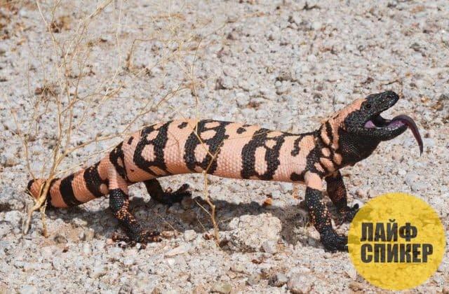 Самая медленная рептилия на планете
