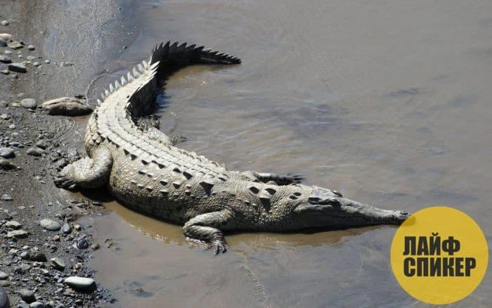 Узкорылый африканский крокодил