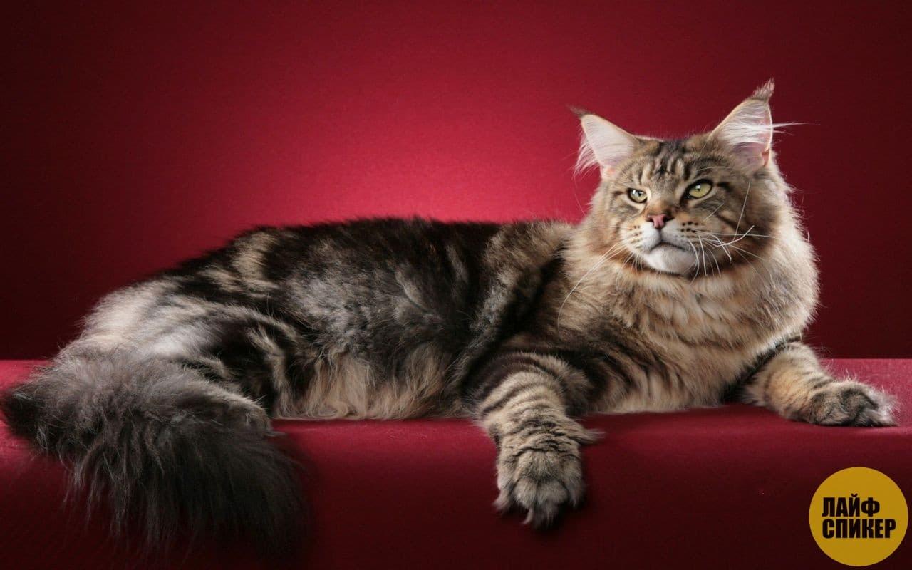 1716349df2f6 Οι μεγαλύτερες γάτες στον κόσμο - 10 μεγάλες φυλές κατοικίδιων γατών ...