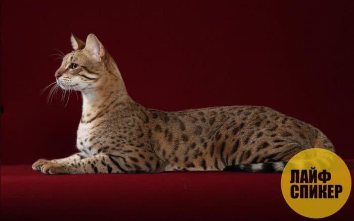 Самые дорогие породы кошек в мире