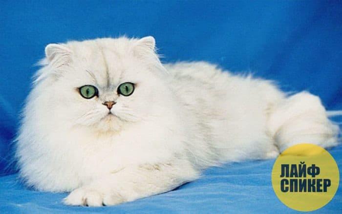 Самые красивые кошки в мире - Топ 10