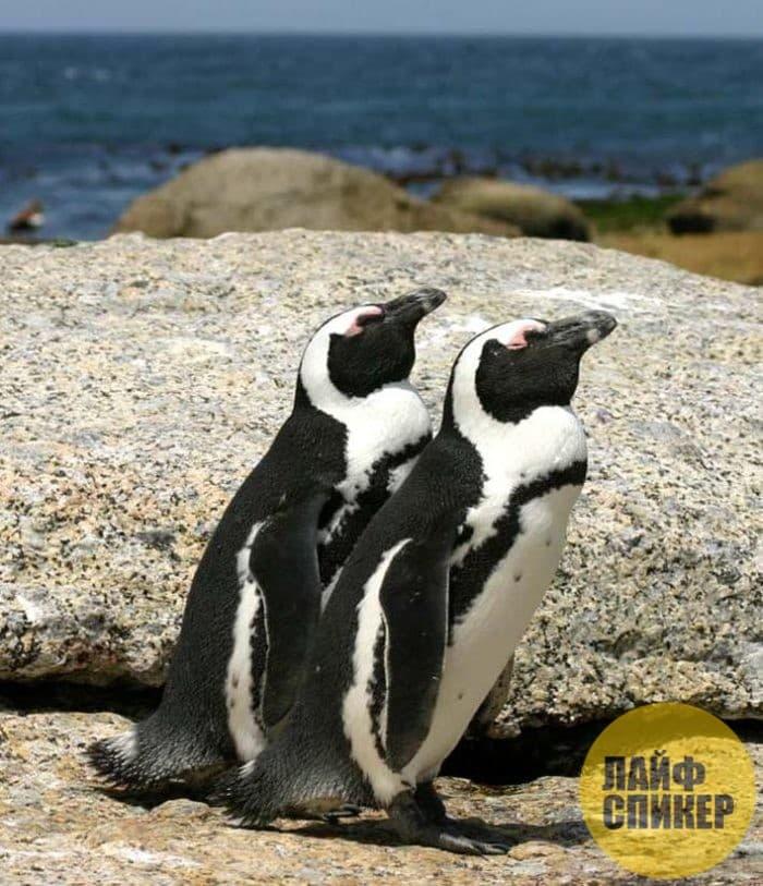 Пингвины в Африке
