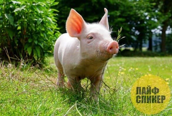 Удивительные особенности свиньи