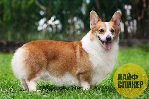Корги: собака на коротких лапках!
