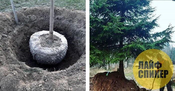 Стоит ли пересаживать дерево зимой?